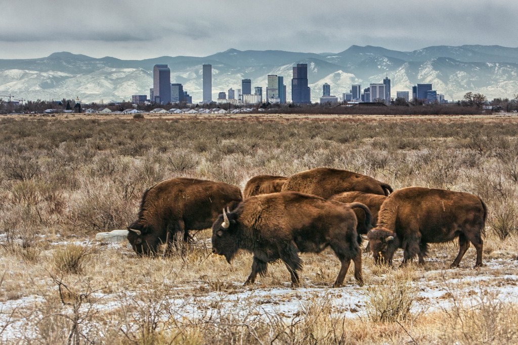 Bison with the Denver skyline. Photograph by Hans Watson, CC BY NC-SA 2.0.