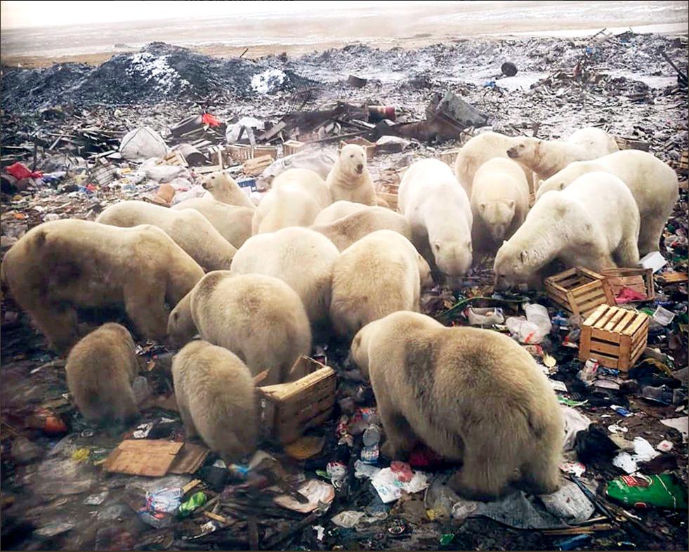 Polar bears. Copyright The Siberian Times, 2019.