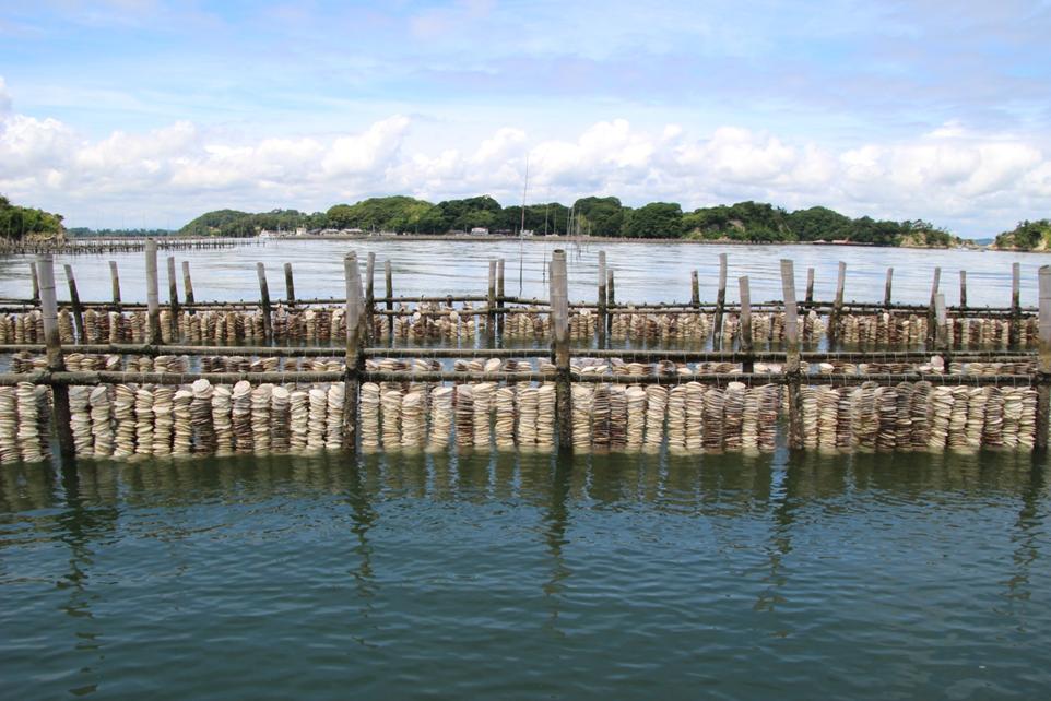Strings of scallop shells hanging on bamboo oyster fences in Higashi-Matsushima, Miyagi. CC BY 4.0 Mariko Yoshida.