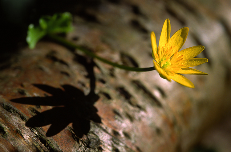Ficarna verna, a common Spring flower in Rya Forest. © Björn Billing.