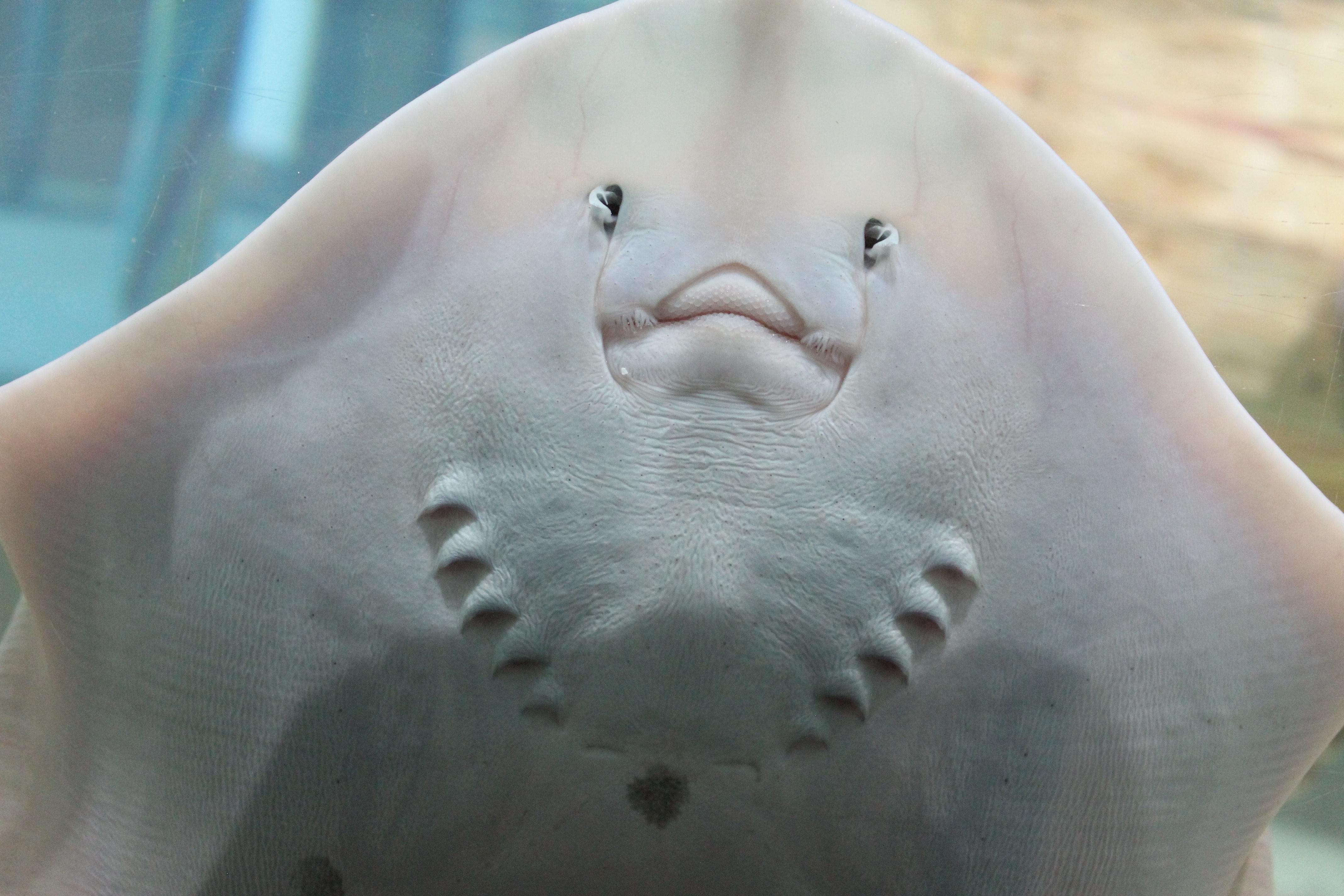 A smiling stingray (its underside) in Portaferry Aquarium. © 2016 Cordula Scherer.